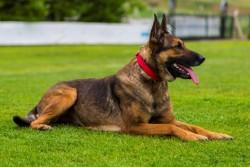 Doggie - Doggie Dokuma Softlu Köpek Boyun Tasması (2CMx40CM - DSBT 2010 S)