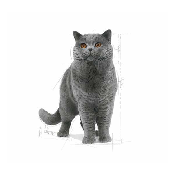 Royal Canin British Shorthair Kedi Maması 10 KG