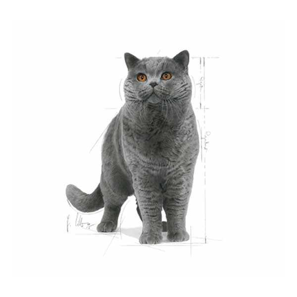 Royal Canin British Shorthair Kedi Maması 4 KG