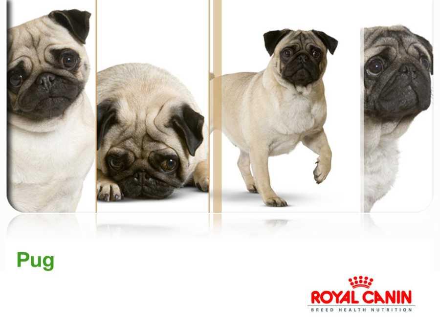 Royal Canin Pug Köpek Maması 1.5 KG