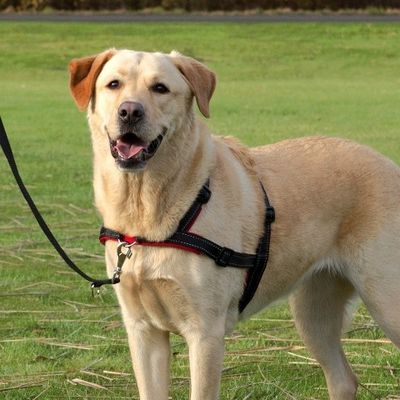 Trixie Köpek Yürüyüş Eğitim Göğüs Tasması M-L